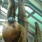 Un paresseux au zoo de Budapest
